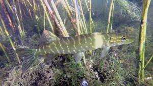 рыба8
