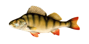 речная рыба окунь