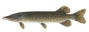 речная рыба щука
