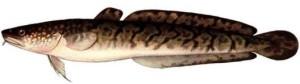 ryby-kolskogo_14