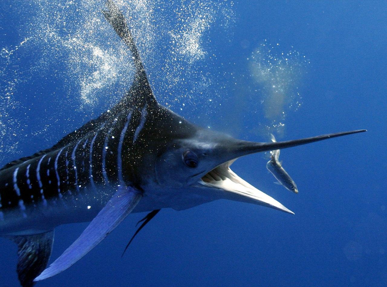 kakaya-ryba_v-okeane-plavaet-bystree-vsex
