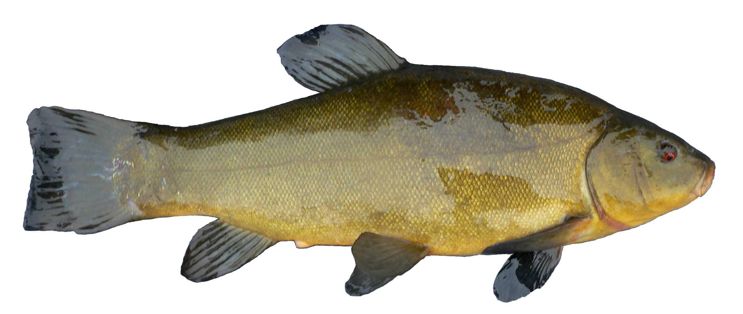 рыба линь картинки