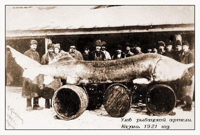 Белуга рыба с большими тайнами Где купить белугу или икру